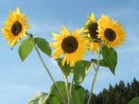 Naturbilder Sonnenblume Bayerischen Wald